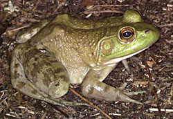 Frogs of Minnesota | Minnesota Pollution Control Agency