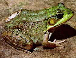 Frogs of Minnesota | Minnesota Pollution Control Agency