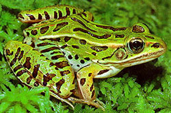 northern leopard frog rana pipiens listen to the call - Images Of Frogs