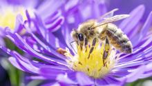 Close up side view of a honeybee on a purple flower with a yellow center.