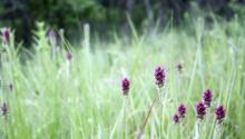 Picture of blazing star plant