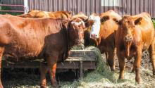 Red cattle in feedlot looking toward the camera