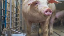 Livestock like this pig consume a lot of water