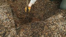 Bare-root sapling being planted in a gravel bed nursery.