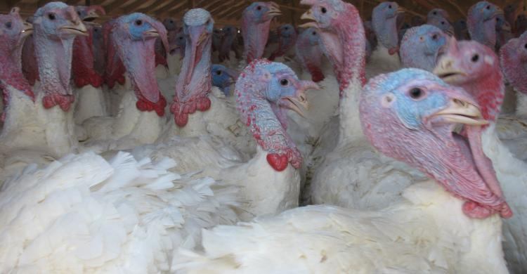 flock of turkies