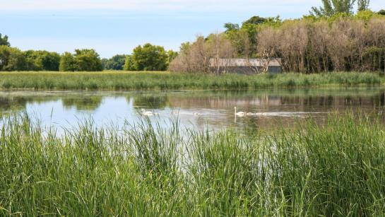 Two adult swans and five young swans swim in open water of a wetland.