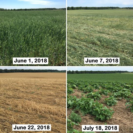 Stoney Brook Farms has been innovative with trying out soil health practices with the goal of suppressing weed pressure, building soil organic matter, reducing soil erosion, and improving nutrient cycling. Top photos: (L) Winter cereal rye cover crop that