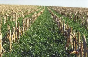 cover crop in corn field