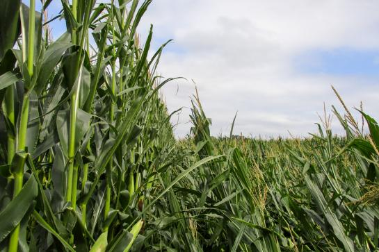 Corn field with corn plants standing up undamaged on the left, and knocked down by wind on the right.