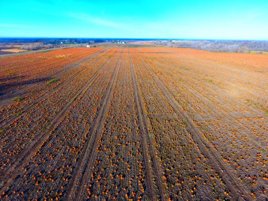 aerial shot of pumpkin field