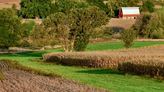 Fields of corn next to grass and oak trees with a red barn in the distance.
