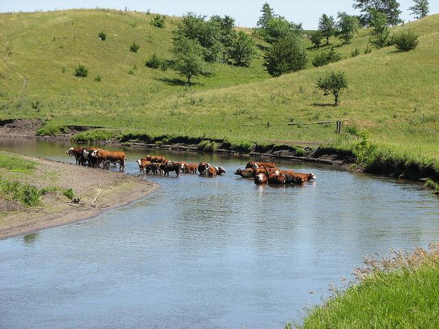 Cattle standing in Pomme de Terre River
