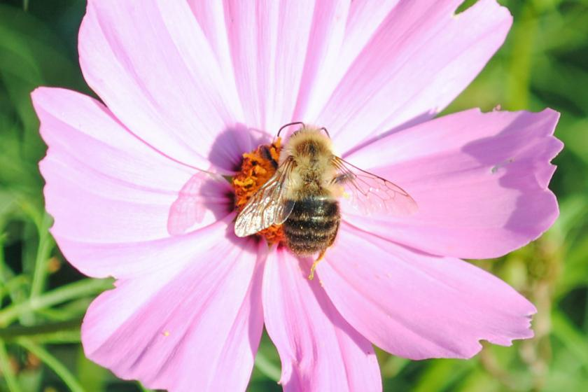 Honeybee on a pink flower from above