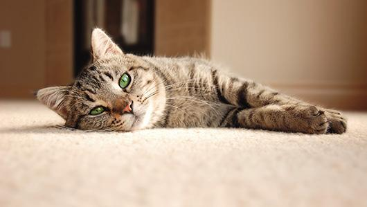 cat-lying-on-carpet