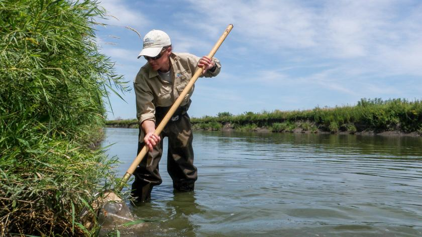 An MPCA staff person wearing waders stands in a river, using a small net to capture something against the grassy river bank.