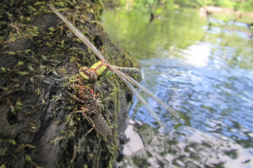 dragonfly near Minnesota River