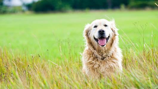 golden-retriever-in-field