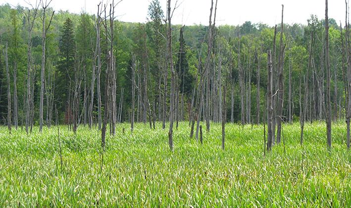 hardwood-swamp-with-cattails