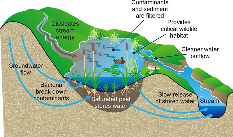 Diagram showing how wetlands slow water down and filter sediment and contaminants to clean water before it flows into streams