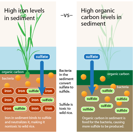 Best Infographic best infographics showing concentration : Protecting wild rice from too much sulfate: Maps and infographics ...
