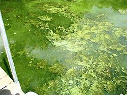 Algae on Lake Sarah - Photo credit: Mr. Dvorak