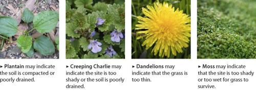 weeds in lawn and what they represent