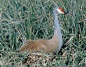 Enhanced or Restored Habitat: Sandhill Crane Natural Area, East Bethel Closed Landfill