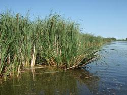Hybrid Cattail (a nonnative-invasive species) dominates this depressional marsh in Brown County. Changes in hydrology, excess nutrient loading, and/or direct physical alterations can lead towards replacement of native plant species by more tolerant nonnatives in wetlands.