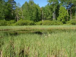 Wetlands that have received few impacts from human activities typically support a diverse community of native plant species—such as this depressional marsh located in Becker County.