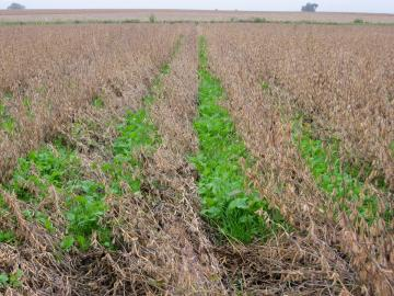 A field with green cover crops planted between the rows of dried soybeans.