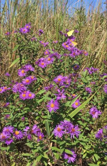 Picture of Wild Aster at the Red Rock Closed Landfill