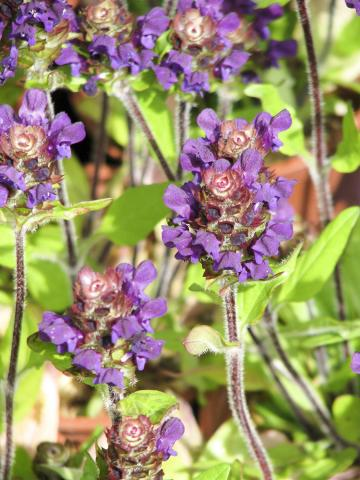 Picture of the Self Heal flower