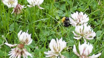 Picture of a bee on white clover