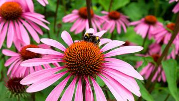 Bee on a purple coneflower plant