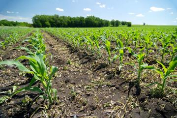 Rows of small green corn plants in a field on a bright sunny day.