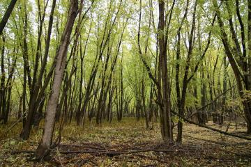 A thicket of slender tree trunks with early spring leaves in a wetland.