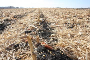 Corn stalks left in field from previous years crop to reduce erosion
