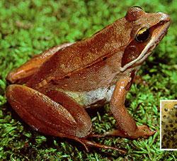 Frogs Of Minnesota Minnesota Pollution Control Agency